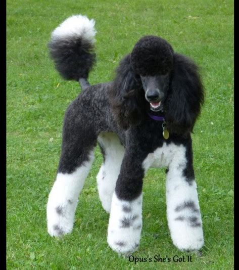 Liste of Dogs of the Standard Poodle (Royal) race | Eleveurs