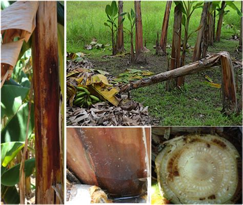 Frontiers | Bacterial Diseases of Bananas and Enset