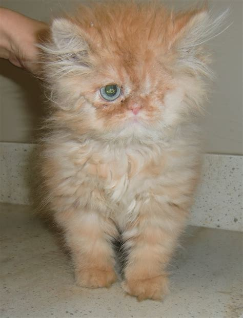Chat persan adoption - Annonces chatons