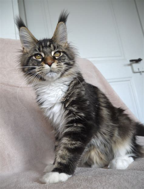 Elevage de chats maine coon, Lounycat, suisse - chat maine