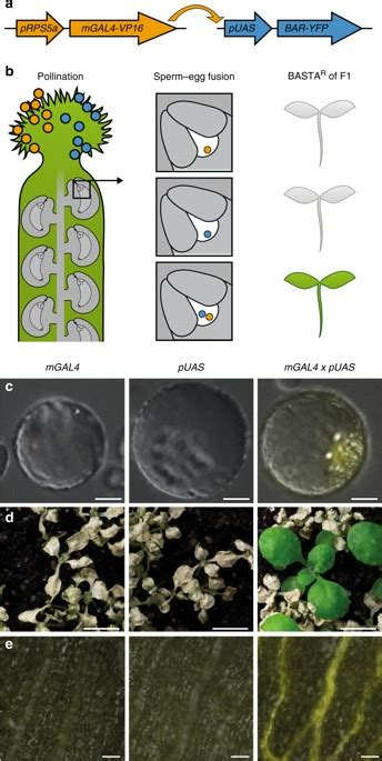 Triparental plants provide direct evidence for polyspermy