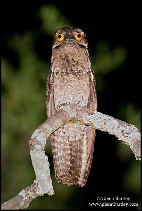 The Potoo is the Funniest Looking Bird You Will Ever See