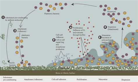 Staphylococcal Biofilms: Pathogenicity, Mechanism and
