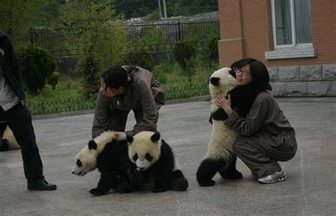 Baby giant pandas rescued from Chinese earthquake - Telegraph