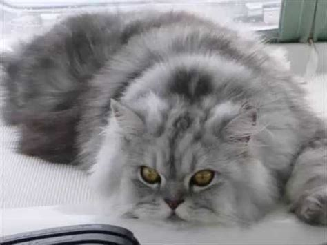 Cute Grey Persian Cats - Kittens Compilation - YouTube